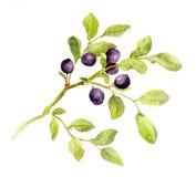 Blaubeerniederlassung mit Blättern und Beeren watercolor Lizenzfreie Abbildung