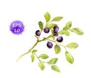 Blaubeerniederlassung mit Blättern und Beeren watercolor Lizenzfreie Stockfotos
