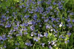 Blaue Acanthaceae-Blumen Lizenzfreie Stockbilder