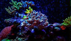 Blaue Acroporaüberziehschutzanlagen-Koralle im Aquarium Lizenzfreie Stockfotos