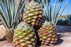 Blaue Agaven-Ananas Lizenzfreie Stockbilder