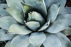 Blaue Aloe-Nahaufnahme Stockfoto