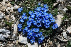 Blaue alpine Blumen stockfotografie