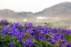 Blaue alpine Blumen Stockfoto