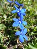 Blaue alpine Blumen Lizenzfreies Stockbild