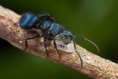Blaue Ameise mit Larve Lizenzfreie Stockbilder