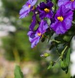 Blaue Anagallisblume lizenzfreies stockbild