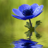 Blaue Anemone-Blume mit Waterdrops Stockfoto