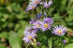 Blaue Aster im Garten, Blütenstaub Stockbild