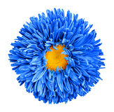 Blaue Asterblume mit Makrophotographie des gelben Herzens lokalisiert stockbild