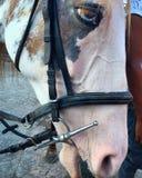 Blaue Augen auf einem Pferd Stockfotografie