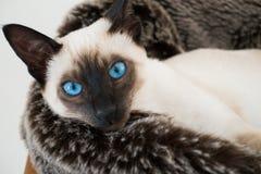 Blaue Augen des siamesischen Kätzchens Stockfotografie