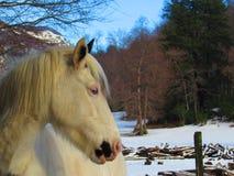 Blaue Augen des weißen Pferds Stockbilder