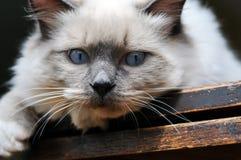 Blaue Augen Ragdoll Katze auf Holz Lizenzfreie Stockfotos