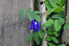 Blaue Basisrecheneinheits-Erbsen-Blume Stockbild