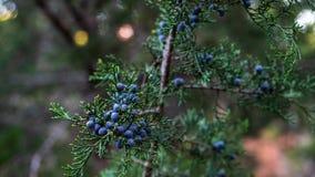 Blaue Baumbeeren des Red-cedar in den Bündeln auf dem Baum im späten Fall lizenzfreie stockbilder