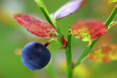 Blaue Beere Stockbild