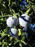 Blaue Beeren Lizenzfreie Stockfotos
