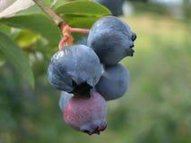 Blaue Beeren stockfotos