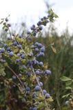 Blaue Beeren Stockbild