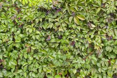 Blaue Beeren auf dem Hintergrund der grünen Hecke stockbild