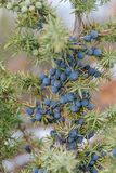 Blaue Beeren des wilden Wacholderbusches schließen oben lizenzfreie stockfotografie