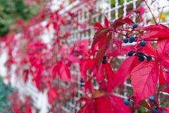Blaue Beeren-helles Rot lässt Anlage wachsenden Zaun White Metal C Stockbilder
