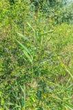Blaue Beerenanlage Lizenzfreies Stockbild