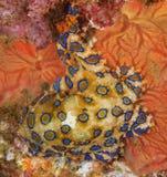 Blaue beringte Krake auf einem Schiffbruch Lizenzfreie Stockbilder