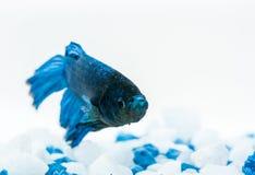 Blaue betta Fische Kämpferfische Lizenzfreie Stockfotografie