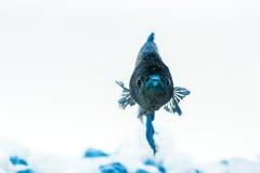 Blaue betta Fische Kämpferfische Lizenzfreie Stockbilder