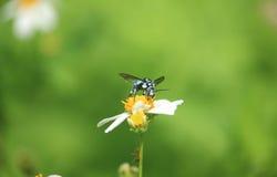 Blaue Biene auf Blume Stockfotos