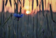 Blaue Blüten-Kornblume im warmen Sonnenuntergang-Licht stockfoto