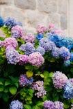 Blaue, blaue, rosa Blumen Hortensie in der alten Stadt von Perast Lizenzfreies Stockbild