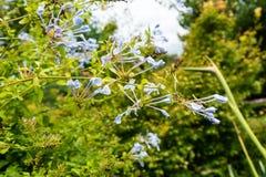 Blaue Bleiwurz Bleiwurz auriculata Plumbaginaceae im Parkabschluß oben Stockfotos