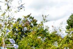 Blaue Bleiwurz Bleiwurz auriculata Plumbaginaceae im Parkabschluß oben Lizenzfreies Stockfoto