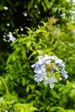 Blaue Bleiwurz Bleiwurz auriculata Plumbaginaceae im Parkabschluß oben Stockbild