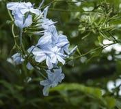 Blaue Bleiwurz-Blume fotografierte herauf Abschluss an einem botanischen Garten in Dänemark, Skandinavien Stockfotografie