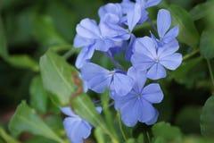 Blaue Bleiwurz im Yard Stockfoto