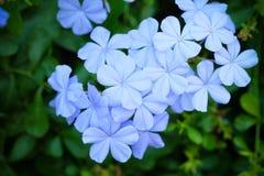 Blaue Bleiwurz, Kap Leadwort auf grünen Blättern Stockbilder