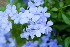 Blaue Bleiwurz, Kap Leadwort auf grünen Blättern Lizenzfreie Stockfotografie