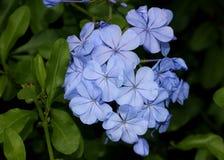 Blaue Bleiwurz, Kapbleiwurz, Bleiwurz auriculata, Kap Leadwort Stockbilder
