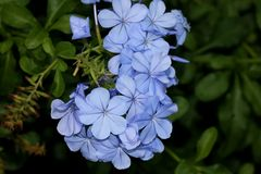 Blaue Bleiwurz, Kapbleiwurz, Bleiwurz auriculata, Kap Leadwort Lizenzfreies Stockfoto