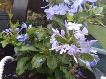 Blaue Bleiwurz mit grünen Blättern Lizenzfreies Stockbild