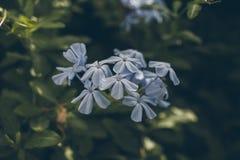 Blaue Bleiwurzblume auf Grün verlässt Hintergrund Bleiwurz Auriculata Schließen Sie herauf Ansicht der blauen Bleiwurzblume Tropi Stockfotos