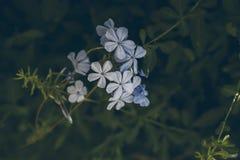 Blaue Bleiwurzblume auf Grün verlässt Hintergrund Bleiwurz Auriculata Schließen Sie herauf Ansicht der blauen Bleiwurzblume Tropi Stockbilder
