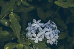Blaue Bleiwurzblume auf Grün verlässt Hintergrund Bleiwurz Auriculata Schließen Sie herauf Ansicht der blauen Bleiwurzblume Tropi Lizenzfreie Stockbilder