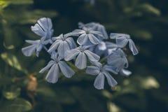 Blaue Bleiwurzblume auf Grün verlässt Hintergrund Bleiwurz Auriculata Schließen Sie herauf Ansicht der blauen Bleiwurzblume Tropi Lizenzfreies Stockfoto