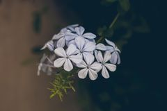 Blaue Bleiwurzblume auf Grün verlässt Hintergrund Bleiwurz Auriculata Schließen Sie herauf Ansicht der blauen Bleiwurzblume Tropi Lizenzfreies Stockbild