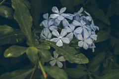 Blaue Bleiwurzblume auf Grün verlässt Hintergrund Bleiwurz Auriculata Schließen Sie herauf Ansicht der blauen Bleiwurzblume Tropi Lizenzfreie Stockfotos